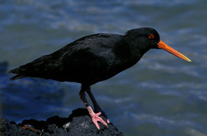 photographer galleries/roger brown/variable oystercatcher haematopus unicolor