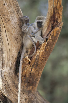 photographer galleries/nature production collection/vervet monkey chlorocebus pygerythrus