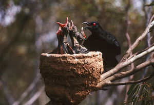 photographer galleries/roger brown/white winged chough corcorax melanorhamphos