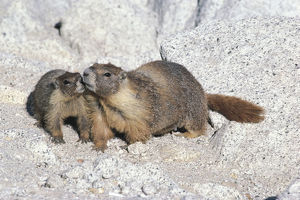 photographer galleries/nature production collection/yellow bellied marmots marmota flaviventris