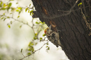 photographer galleries/joe mcdonald/yellow crowned woodpecker leiopicus mahrattensis