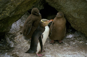photographer galleries/roger brown/yellow eyed penguin megadyptes antipodes