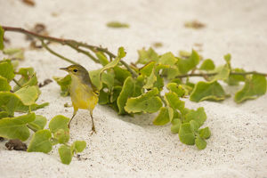 photographer galleries/joe mcdonald/yellow warbler setophaga petechia